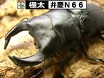 国産オオクワガタ 極太【弁慶N66】血統